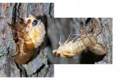 Brood-X-2021-molting-shell